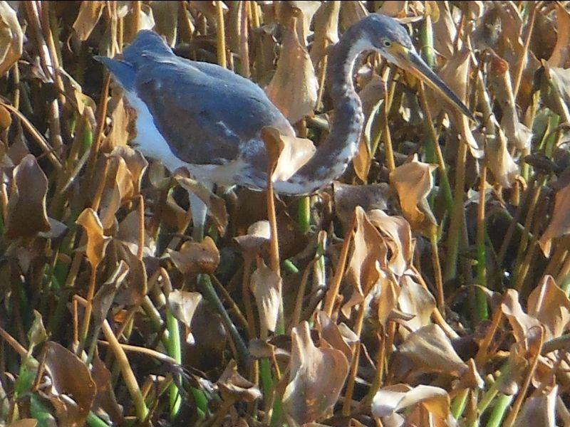 Tri-colored Heron (Egretta tricolor) Also known as Louisiana Heron